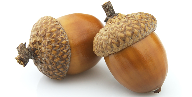 Acorn High Quality Background on Wallpapers Vista
