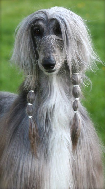 Afghan Hound Wallpapers Animal Hq Afghan Hound Pictures 4k Wallpapers 2019
