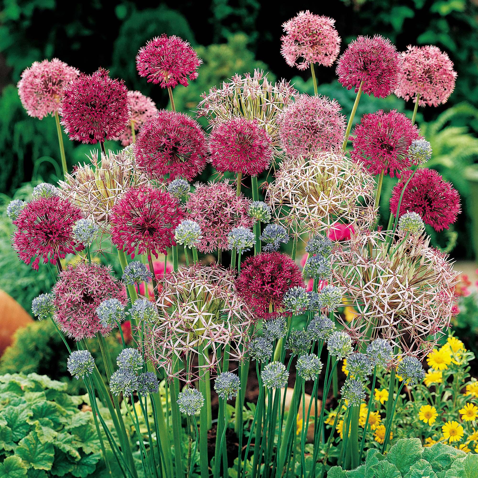 Allium #1