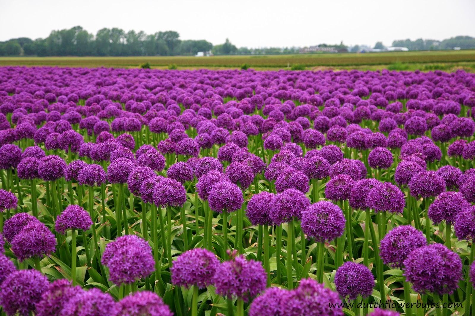 HQ Allium Wallpapers | File 482.6Kb