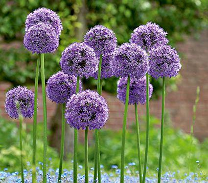 HQ Allium Wallpapers | File 42.79Kb