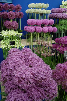 Nice Images Collection: Allium Desktop Wallpapers