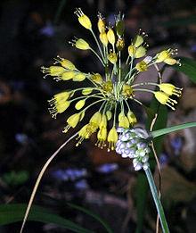 Images of Allium | 220x261