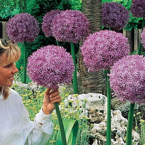 Images of Allium | 500x500