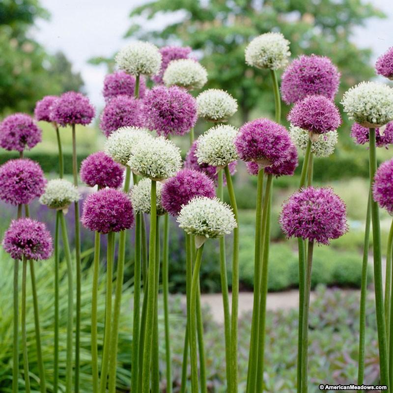 Allium Backgrounds on Wallpapers Vista