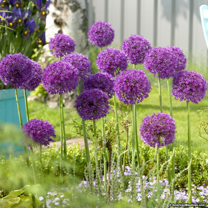 Allium High Quality Background on Wallpapers Vista