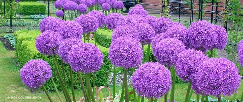 Allium Pics, Earth Collection