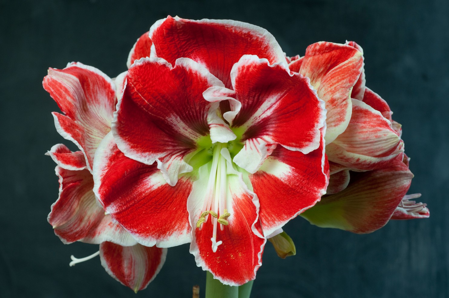 1484x985 > Amaryllis Wallpapers