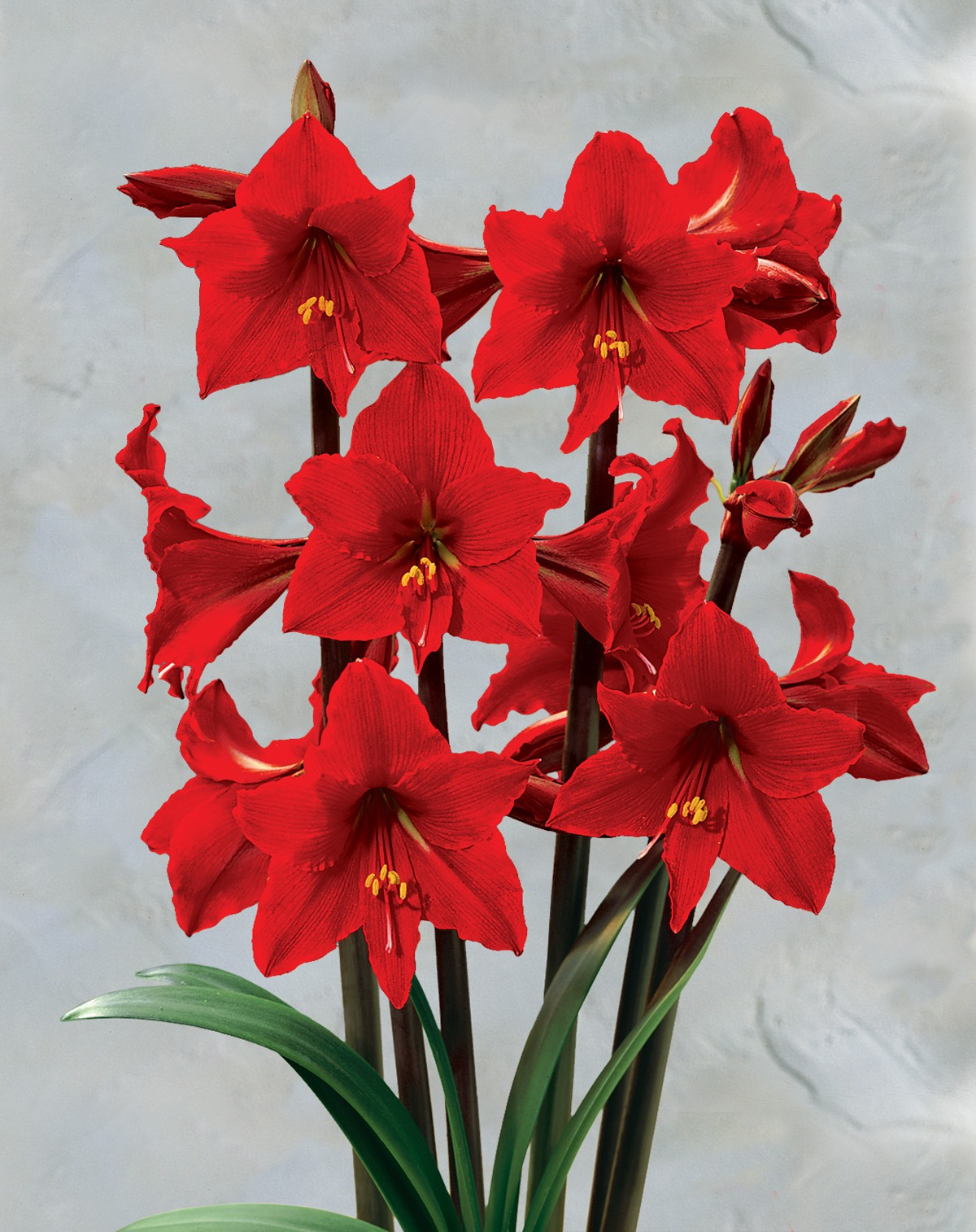Amazing Amaryllis Pictures & Backgrounds