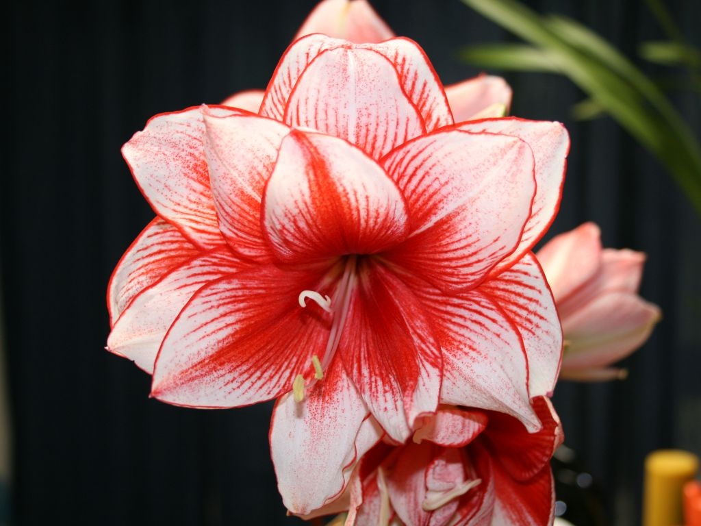 Amaryllis Pics, Earth Collection