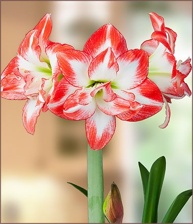 High Resolution Wallpaper | Amaryllis 380x440 px
