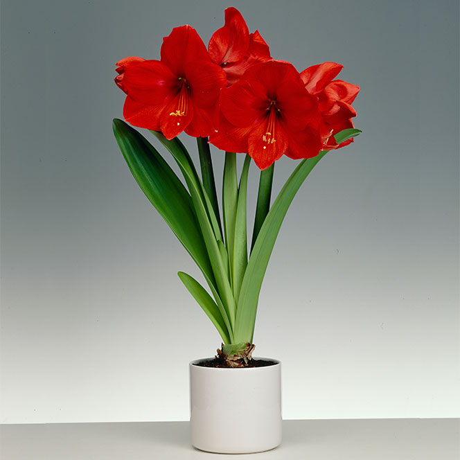 Nice Images Collection: Amaryllis Desktop Wallpapers