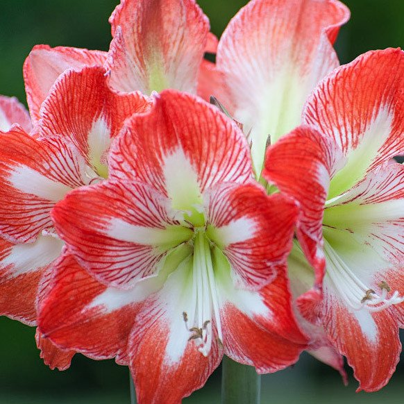 Amaryllis Backgrounds on Wallpapers Vista