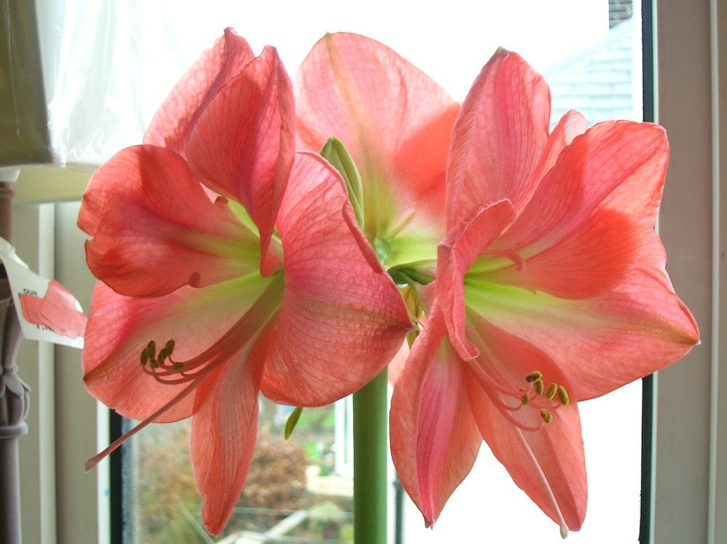 Images of Amaryllis | 1024x766