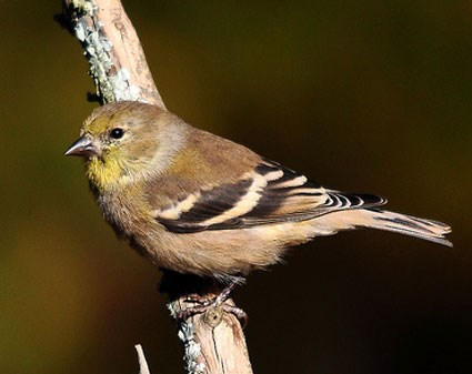 425x337 > Goldfinch Wallpapers