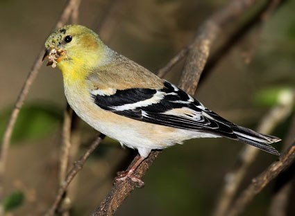 Nice wallpapers Goldfinch 425x312px