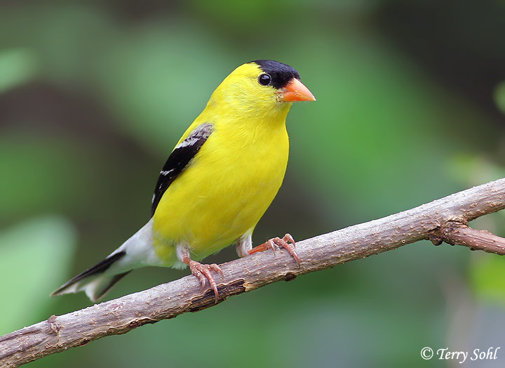 Nice Images Collection: Goldfinch Desktop Wallpapers
