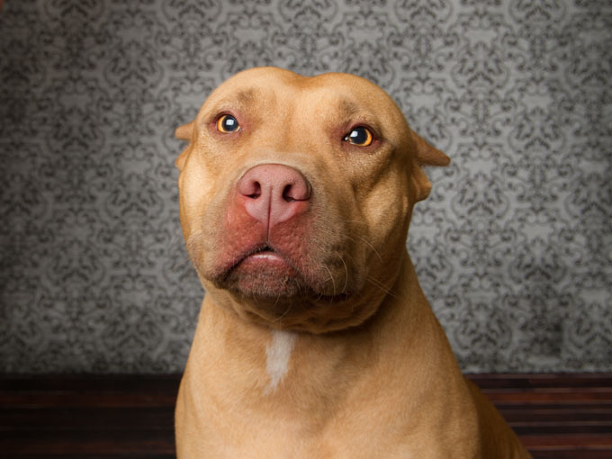 HQ Pit Bull Wallpapers | File 83.18Kb