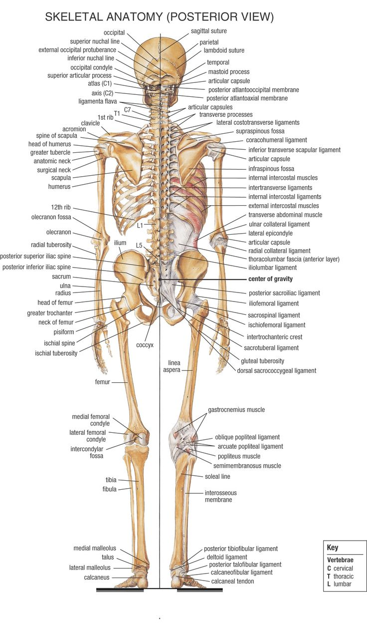Anatomy Backgrounds, Compatible - PC, Mobile, Gadgets| 736x1260 px