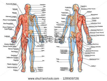 Anatomy High Quality Background on Wallpapers Vista