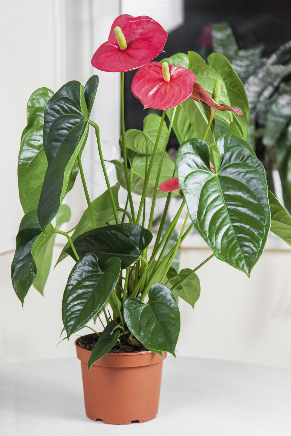 Anthurium High Quality Background on Wallpapers Vista