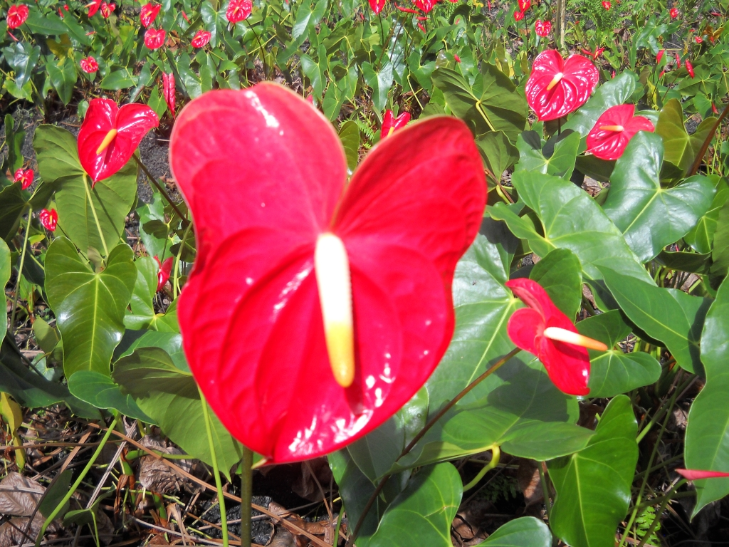 Nice wallpapers Anthurium 1024x768px