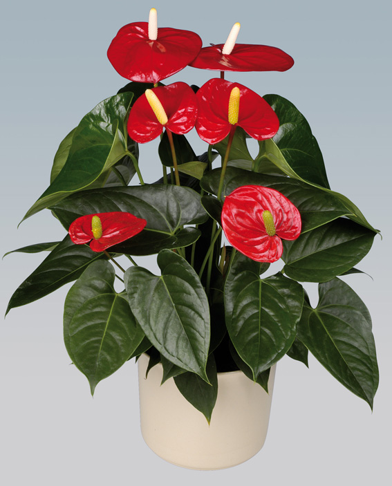 Anthurium Pics, Earth Collection