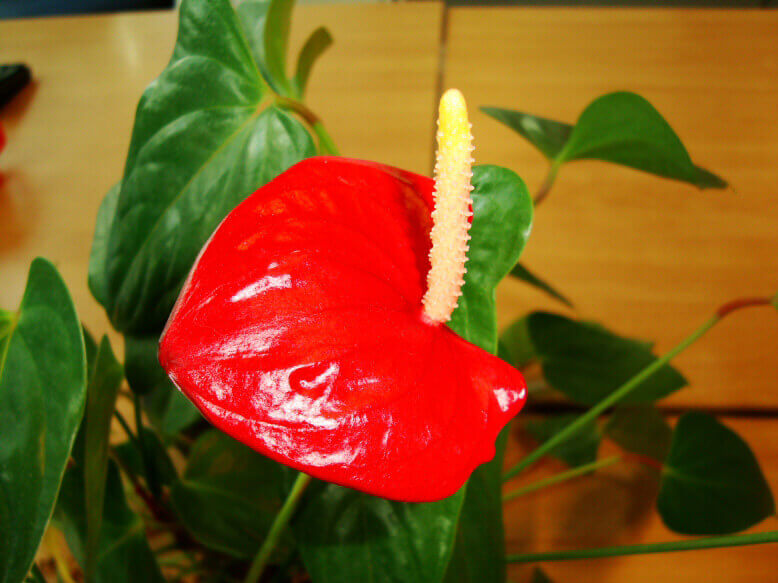 Anthurium Backgrounds on Wallpapers Vista