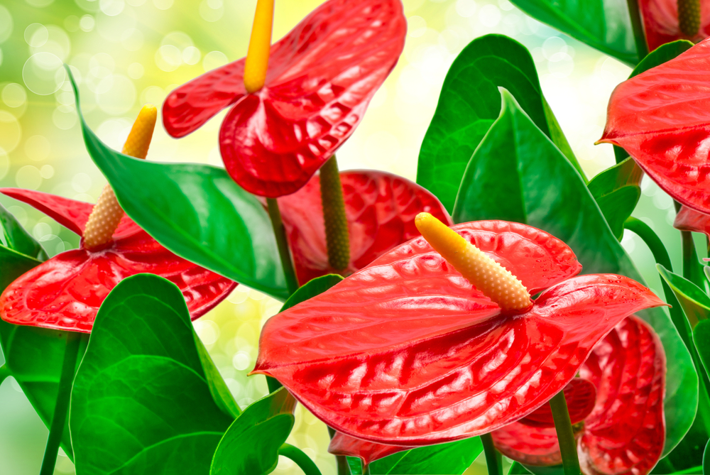 Nice wallpapers Anthurium 1000x669px