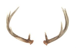 Nice Images Collection: Antler Desktop Wallpapers