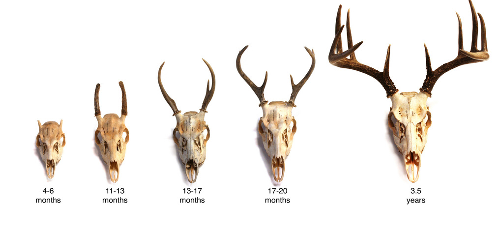 Nice wallpapers Antler 1017x480px