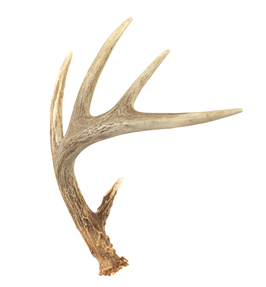Antler Backgrounds, Compatible - PC, Mobile, Gadgets| 266x287 px
