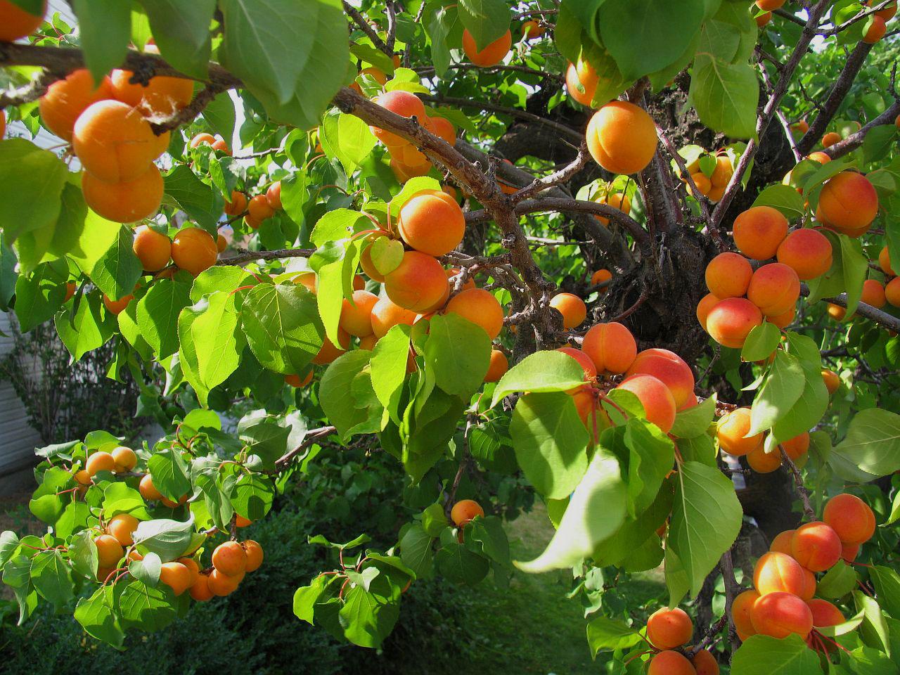 Apricot Tree HD wallpapers, Desktop wallpaper - most viewed