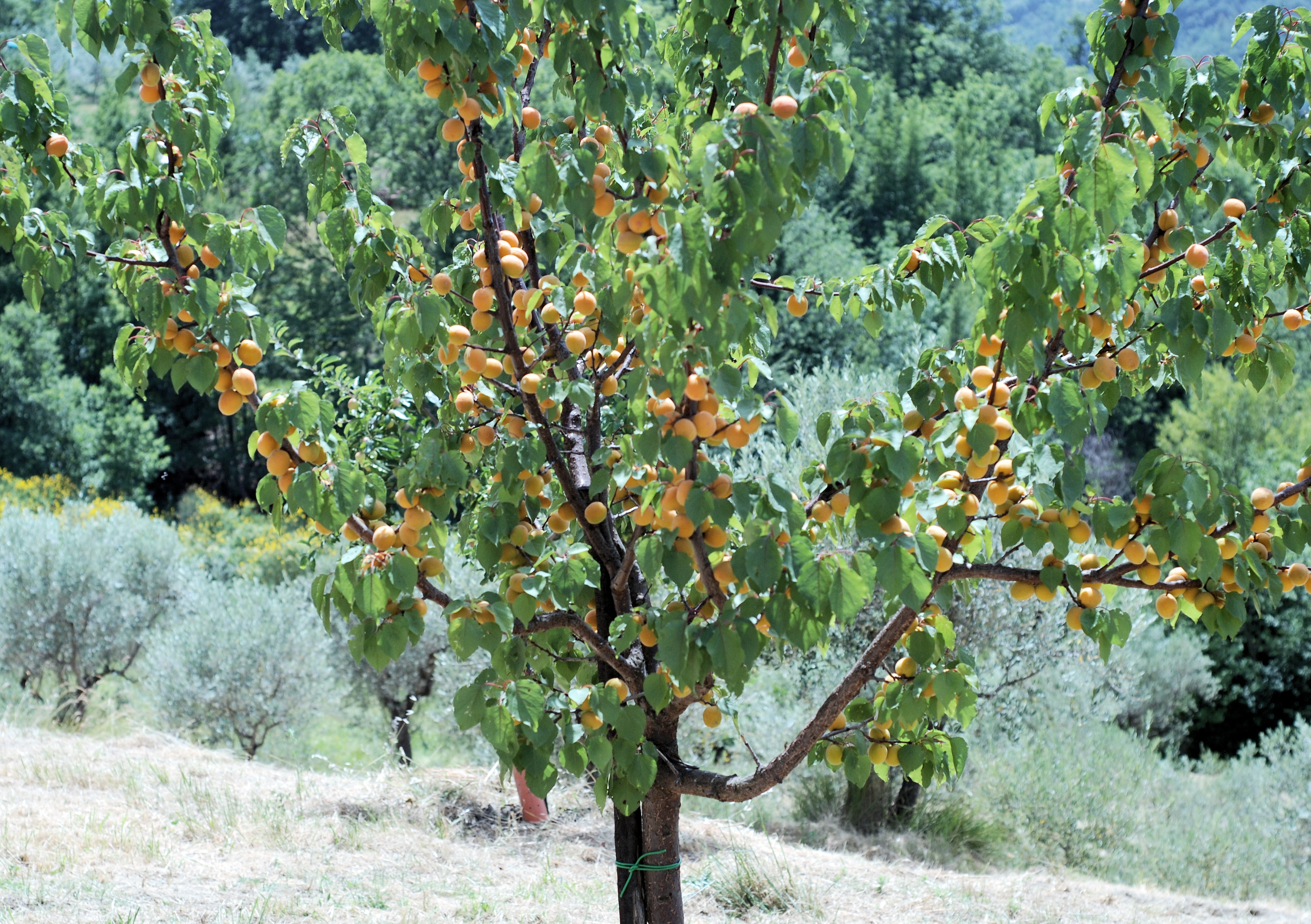 High Resolution Wallpaper   Apricot Tree 3654x2577 px