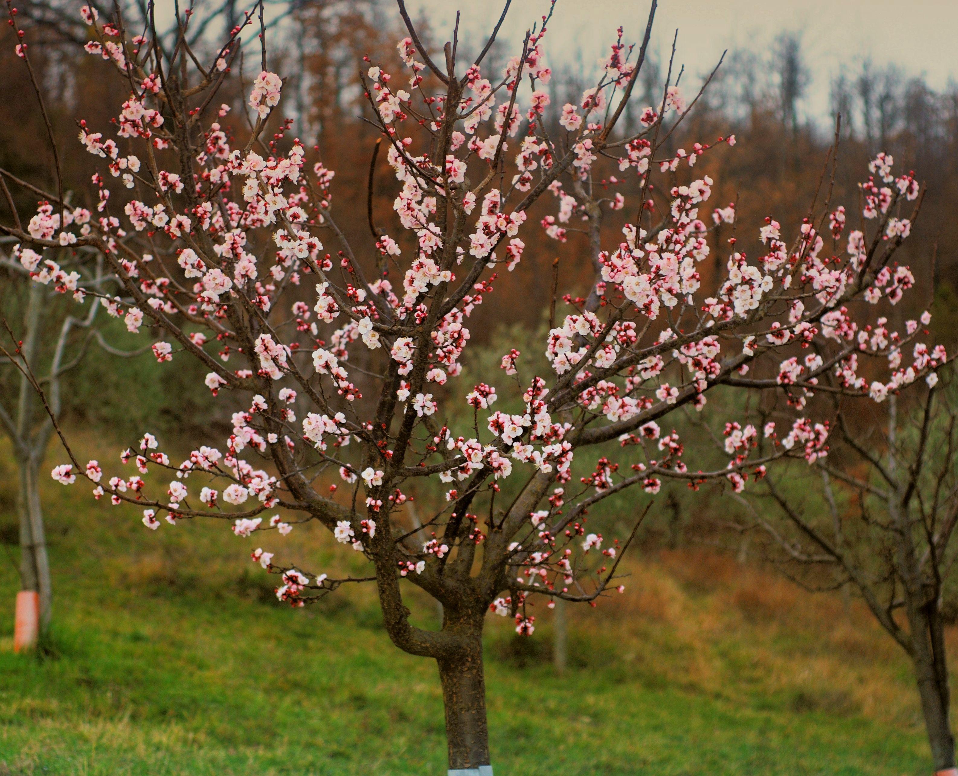 Apricot Tree #5