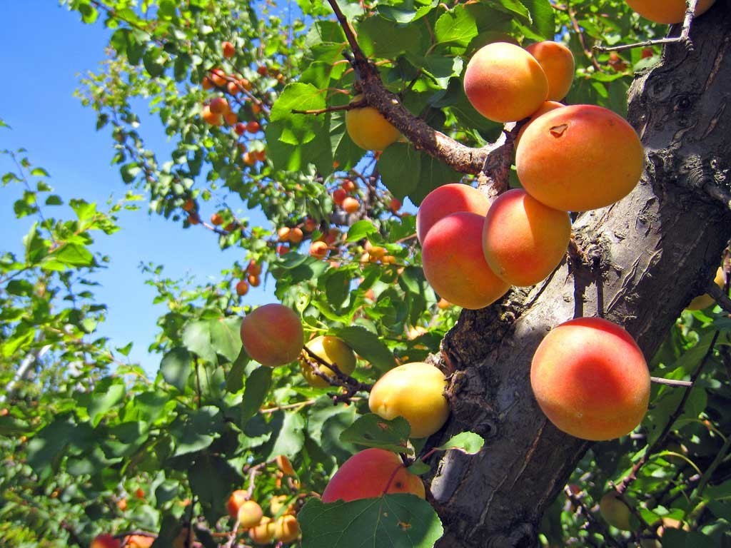 High Resolution Wallpaper   Apricot Tree 1024x768 px