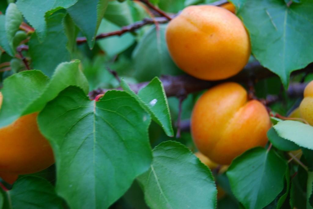 Apricot Tree #11