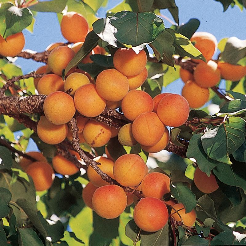 Apricot Tree High Quality Background on Wallpapers Vista