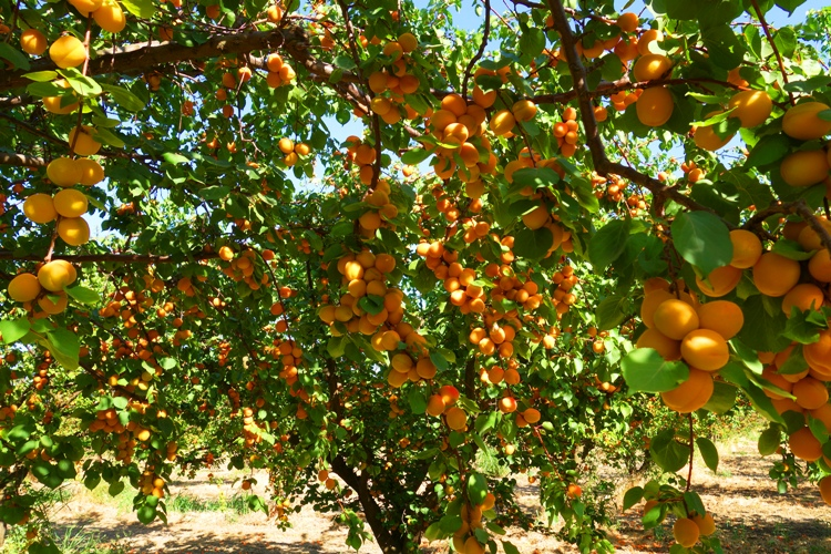 Nice wallpapers Apricot Tree 750x500px