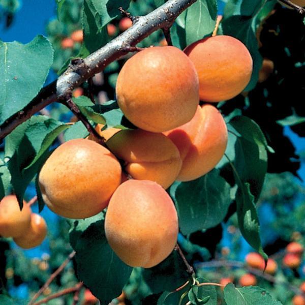 Apricot Tree #19