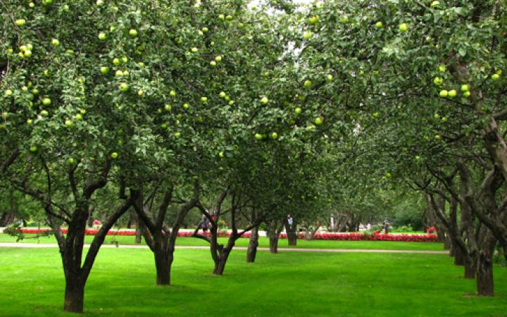 Images of Apricot Tree   720x450