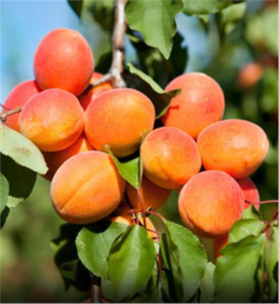 HQ Apricot Tree Wallpapers   File 40.7Kb