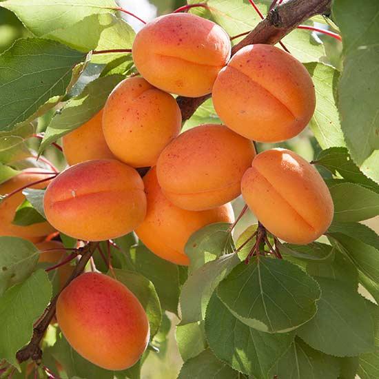 Apricot Tree #18