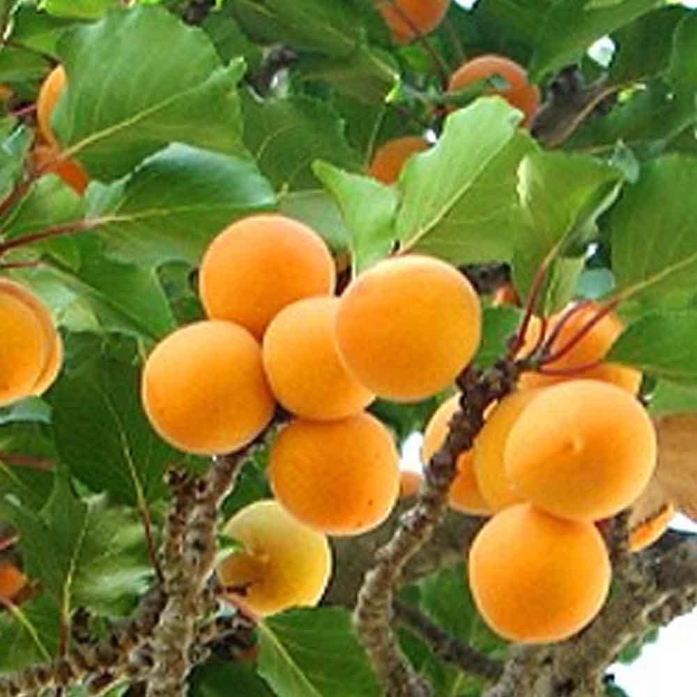 Apricot Tree Backgrounds, Compatible - PC, Mobile, Gadgets  1000x1000 px