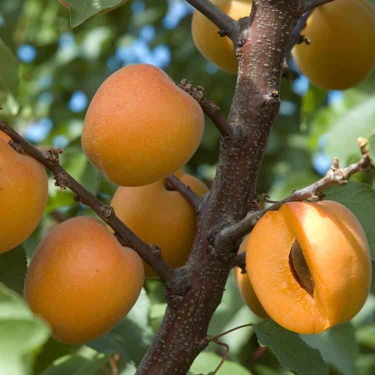 Apricot Tree Backgrounds, Compatible - PC, Mobile, Gadgets  750x750 px