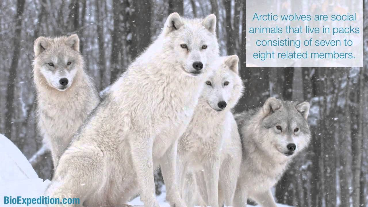 Most Viewed Arctic Wolf Wallpapers 4k Wallpapers