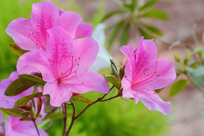 Amazing Azalea Pictures & Backgrounds