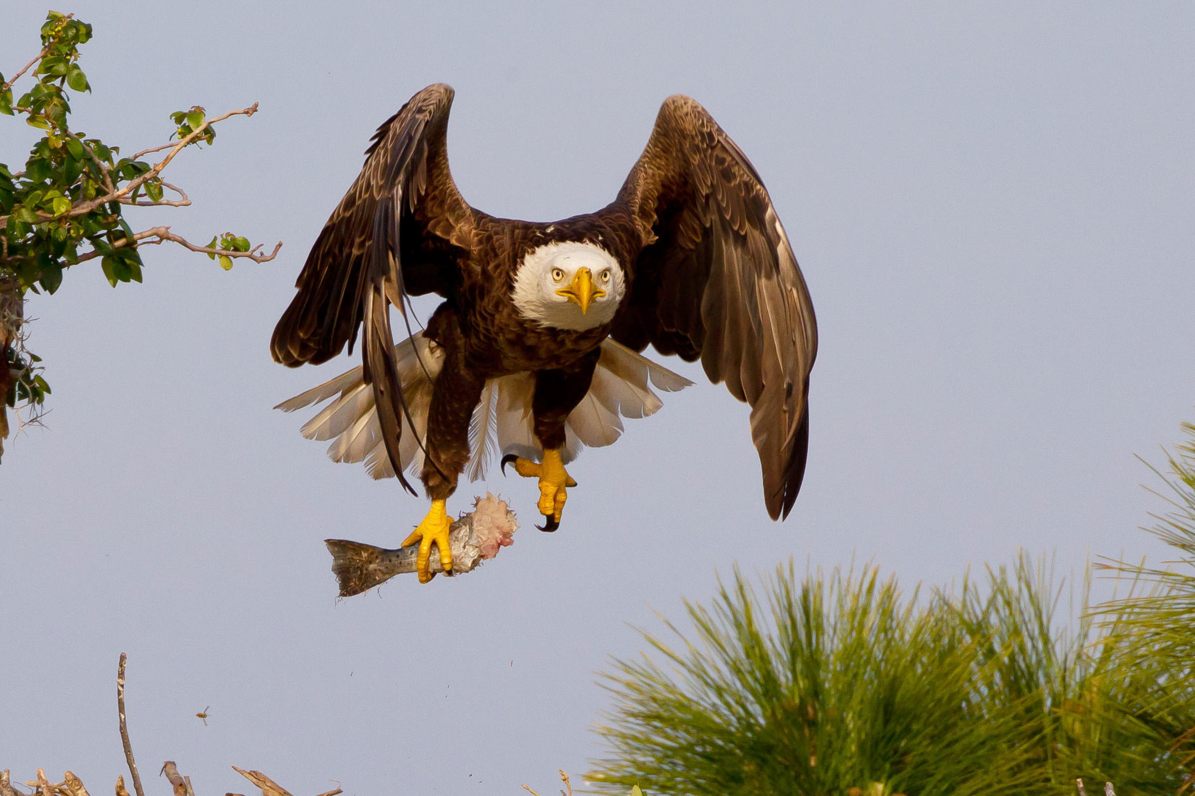 Most Viewed Bald Eagle Wallpapers 4k Wallpapers