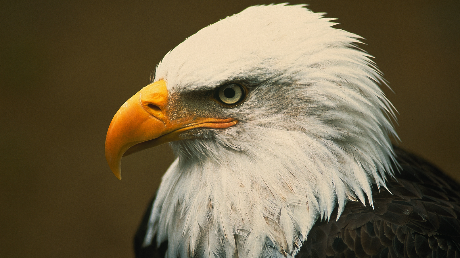 HQ Eagle Wallpapers | File 1184.34Kb