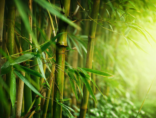 Images of Bamboo | 512x390